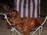 Joey - Barry Mathers (The Cruzeros)'s Irish Setter